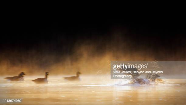 geese in motion in early morning mist and golden light on the pond in pennsylvania - 水鳥 ストックフォトと画像