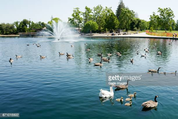 geese in public park - gado stock photos and pictures