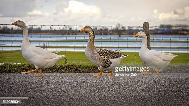 Geese in single file