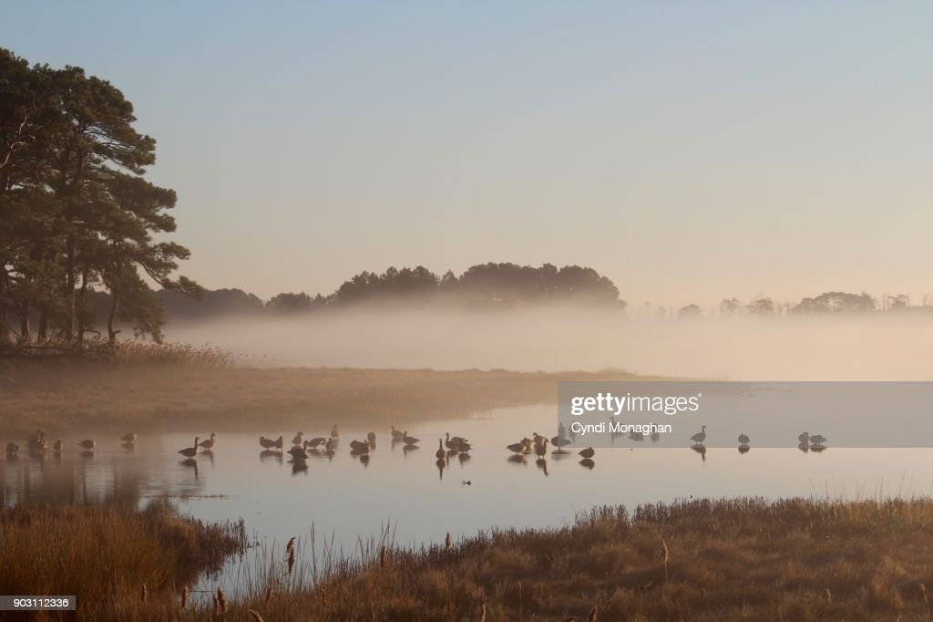 Geese in the Mist at Dawn : Stock Photo