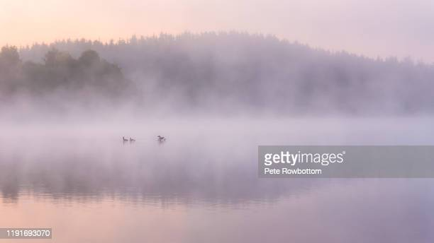 geese in the mist - cultures stock pictures, royalty-free photos & images