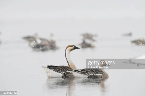 Geese in the snow, Shenyang City, Liaoning Province, China, March 4, 2020. - PHOTOGRAPH BY Costfoto / Barcroft Studios / Future Publishing