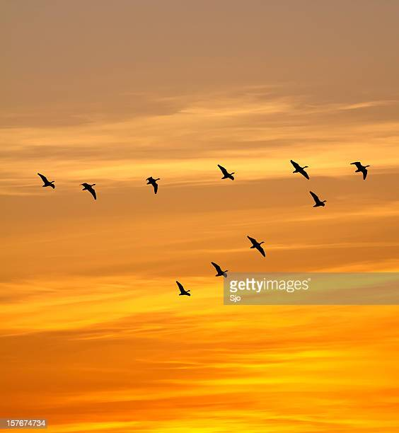 Geese in the sunset