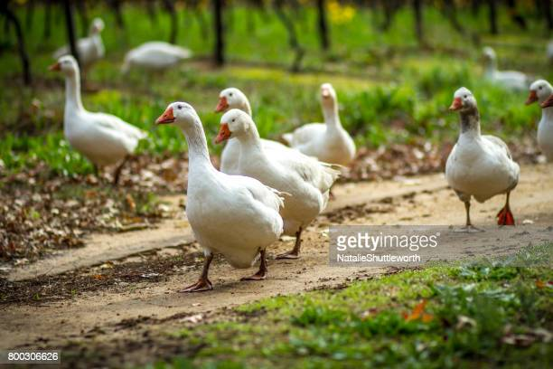 geese in the vines - goose stock pictures, royalty-free photos & images