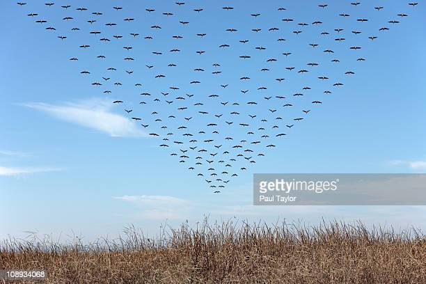 Geese in Triangular Pattern