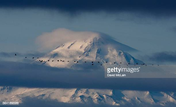 geese migrate past snow covered mt. shasta on the lower klamath national wildlife refuge. - 水鳥 ストックフォトと画像