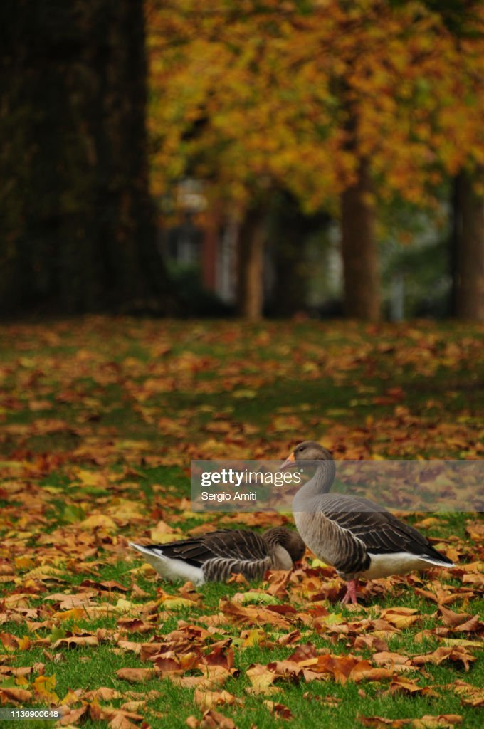Geese on autumn leaves : Stock Photo