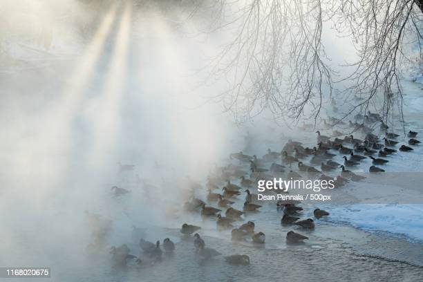 geese on ice - kalamazoo stock pictures, royalty-free photos & images