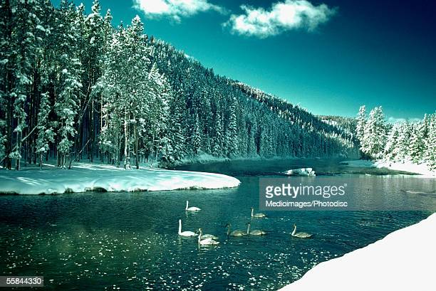 geese on river in winter, yellowstone national park, wyoming, usa - yellowstone river stock photos and pictures