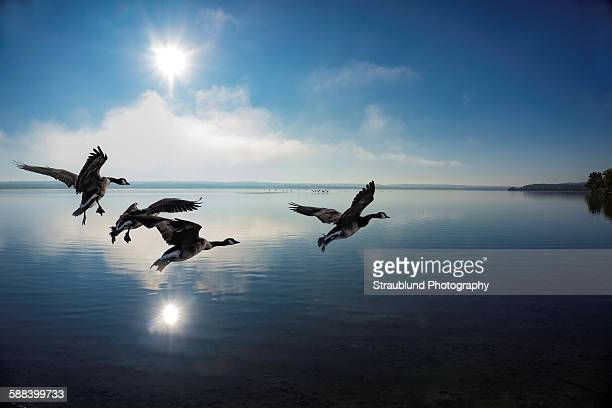 geese on the lake - goose stock pictures, royalty-free photos & images