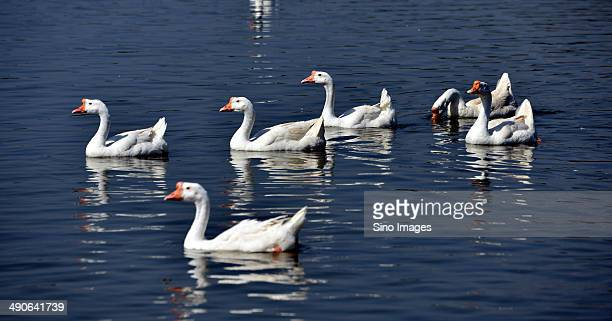 Geese on Water Surface