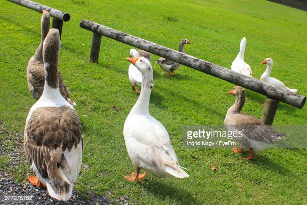Geese Perching On Grassy Field