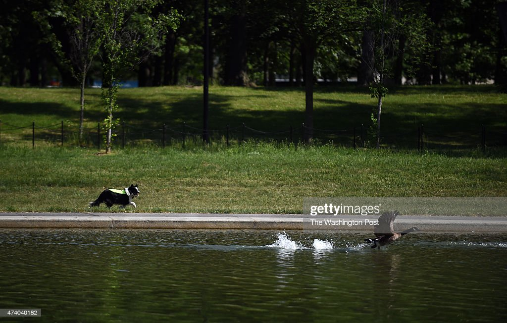 "WASHINGTON, DC - May 14: A ""Geese Police"" border collie chases  : News Photo"