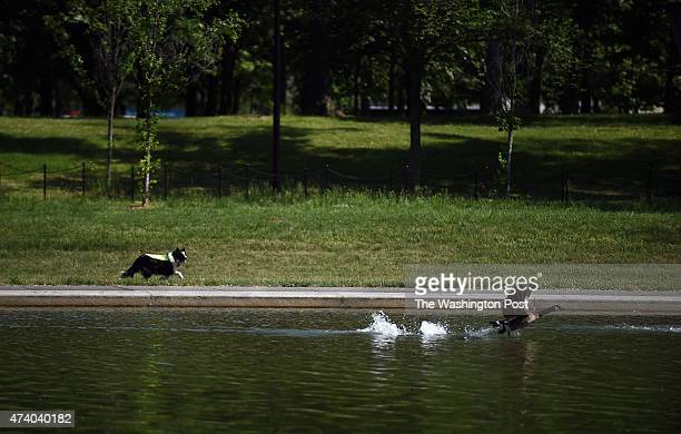 A Geese Police border collie chases away a Canada Goose from the Lincoln Memorial Reflecting Pool in Washington DC May 14 2015 The dog was hired by...