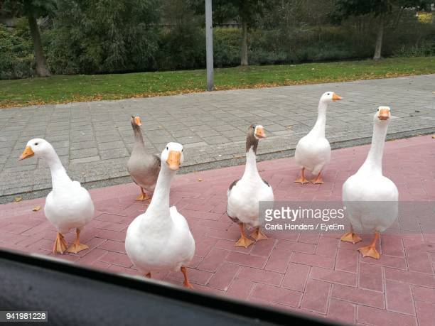 geese seen through car window - medium group of animals stock pictures, royalty-free photos & images