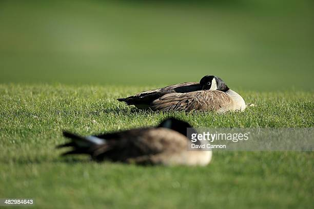 Geese sleeping on the 18th hole during the third round of the 2014 Kraft Nabisco Championship on the Dinah Shore Tournament Course at Mission Hills...