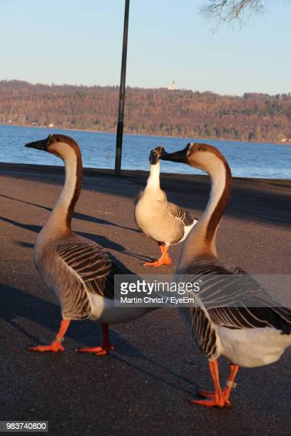 Geese Standing On Road By Lake During Sunset