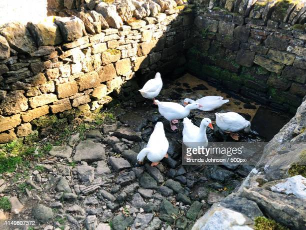 geese taking a bath at rievaulx abbey - rievaulx abbey stock pictures, royalty-free photos & images
