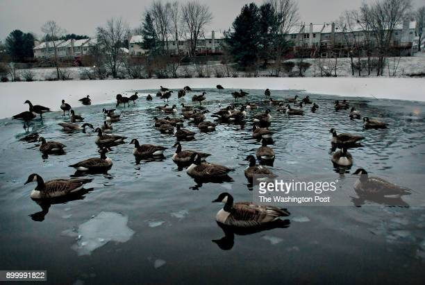 Geese that opted to stay local and not head south chill in a pond in the Flower Hill neighborhood in Gaithersburg Maryland Snowfall that ranged from...