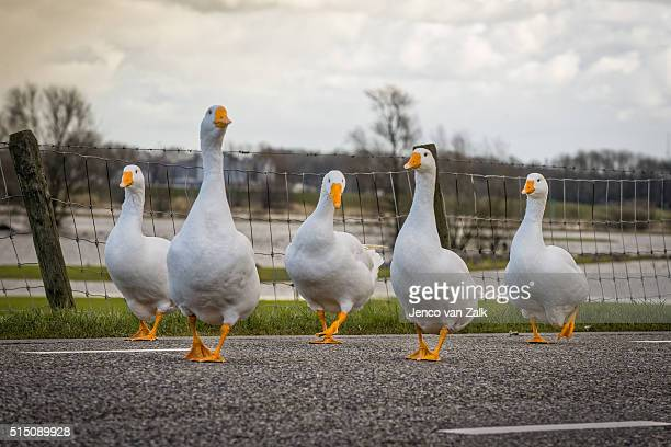 Geese using the road