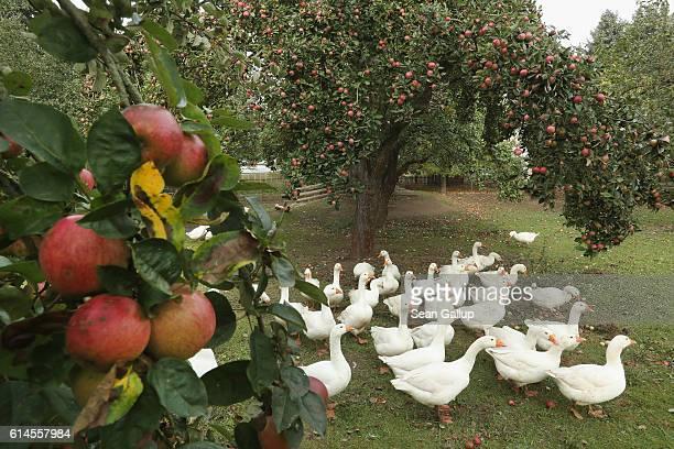 Geese walk under an apple tree at the Apfelhof Waehnert apple farm in Hoppenrade on October 14 2016 near Loewenberg Germany The annual apple harvest...