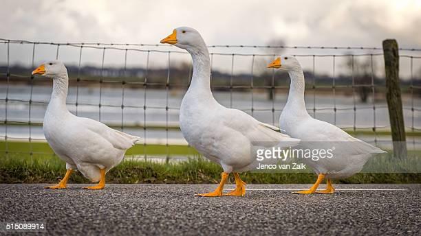 Geese walking by