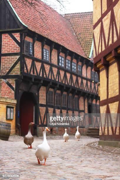 geese walking in old town, aarhus, denmark - arhus stock pictures, royalty-free photos & images