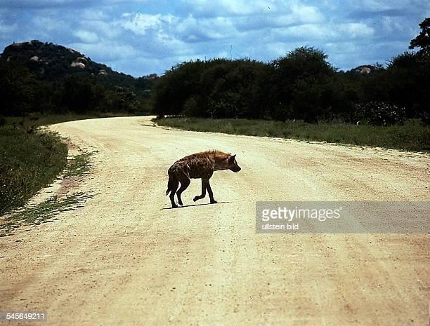 Gefleckte Hyäne - Krüger National Park,Republik Südafrika- 1993