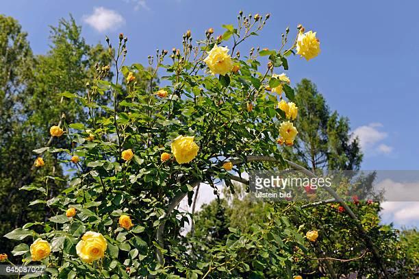 Gefuellt bluehende gelbe Kletterrose der Sorte Rosa 'Morgensonne' am Rosenbogen