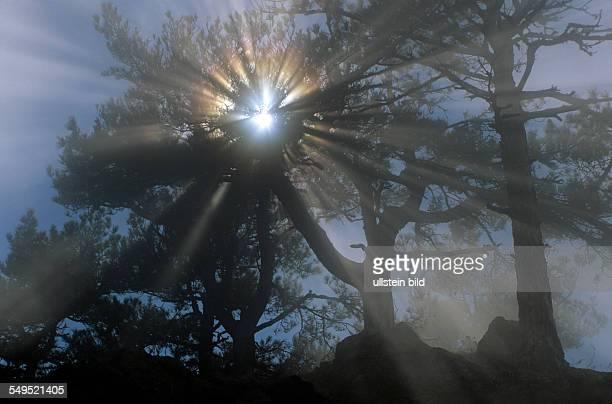 Gegenlicht in Kiefernwald Cote d'Azur Frankreich