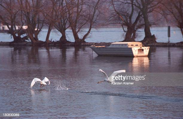 geisenheim, germany in the rheingau, winter mood with two starting swans - landschaft stock pictures, royalty-free photos & images