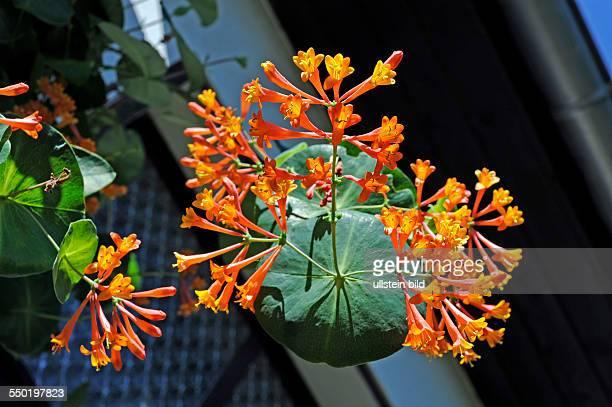 Geissblatt oder Lonicera eine anmutigen Kletterpflanze mit röhrenförmigen scharlachroten Blüten die im Volksmund auch JelängerJelieber genannt wird