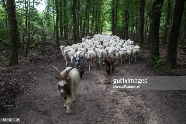 Geit leidt kudde schapen