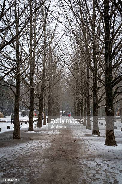 Gekko trees on winter, Nami island South Korea