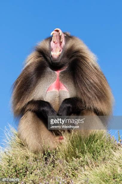 Gelada Baboon baring teeth in grass