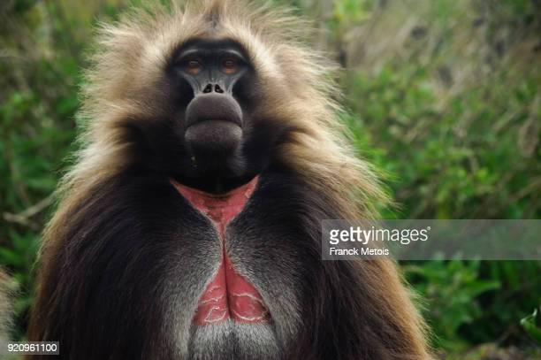 Gelada baboon ( Ethiopia)