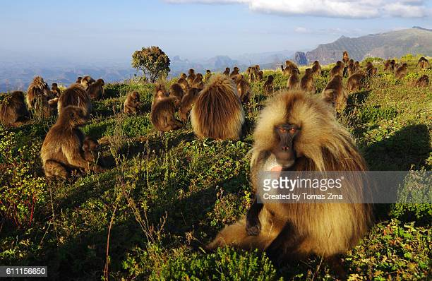 gelada baboons at sankaber - baboon stock photos and pictures
