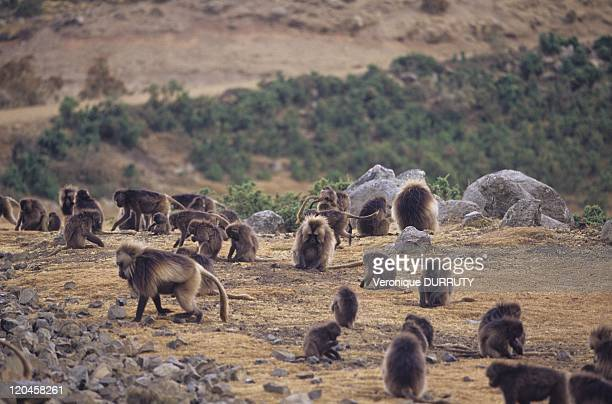 Gelada baboons Simien National Park in Semien Ethiopia Massive erosion over the years on the Ethiopian plateau has created one of the most...