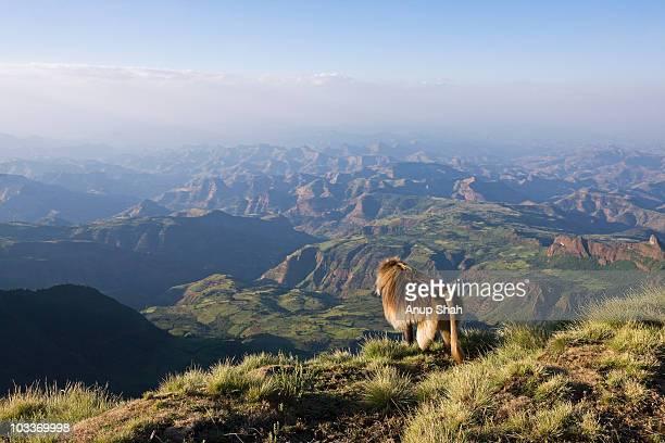 Gelada male sitting on cliff edge