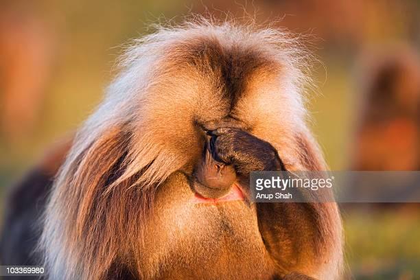 gelada mature male self-grooming - augen zuhalten stock-fotos und bilder