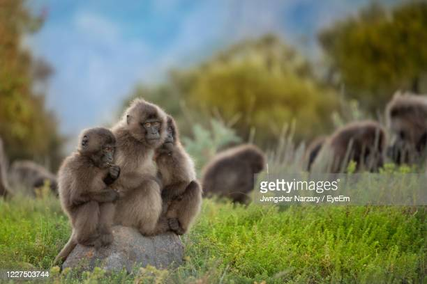 gelada monkey babies playing in simien mountains in ethiopia - ethiopia stock pictures, royalty-free photos & images