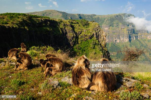 gelada monkeys (theropithecus gelada) grazing at a cliff edge on a beautiful sunny day. simien mountains national park, ethiopia - baboon stock pictures, royalty-free photos & images