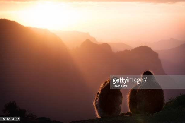 geladas at sunset - baboon stock photos and pictures