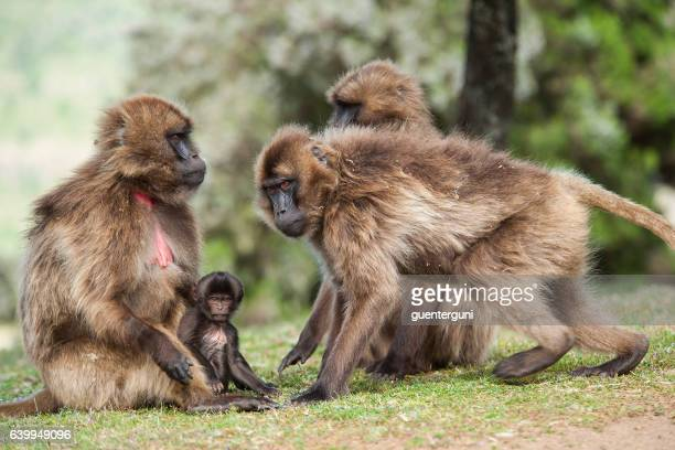 Geladas Baboons in the Simien Mountains