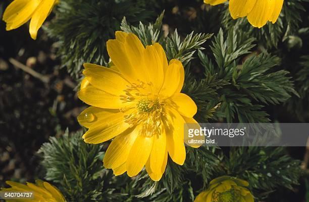 Gelbe Blüte eines FrühlingsTeufelsauges Familie der Hahnenfußgewächse auch Adonisröschen genannt Undatiertes Foto