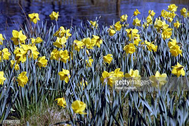 Gelbe Narzisse am See Landpark Lauenbrück Niedersachsen Deutschland Europa Reise