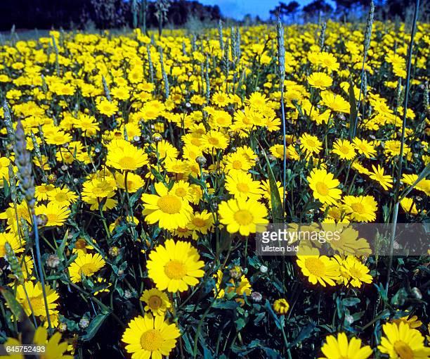 Gelbe Wucherblumen, auch Saatwucherblumen, bluehen als Massenbestand in einem Weizenfeld