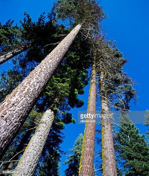 Gelbkiefern, Pinus ponderosa, Staemme, Baumstaemme, unten astfrei, Riesenwuchs, wichtiges Nutzholz, Sierra Nevada