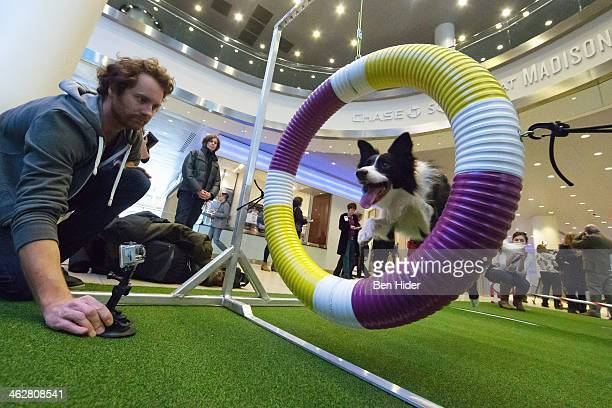 Gem a border Collie performs tricks at the 138th Annual Westminster Kennel Club Dog Show press conference at Madison Square Garden on January 15 2014...