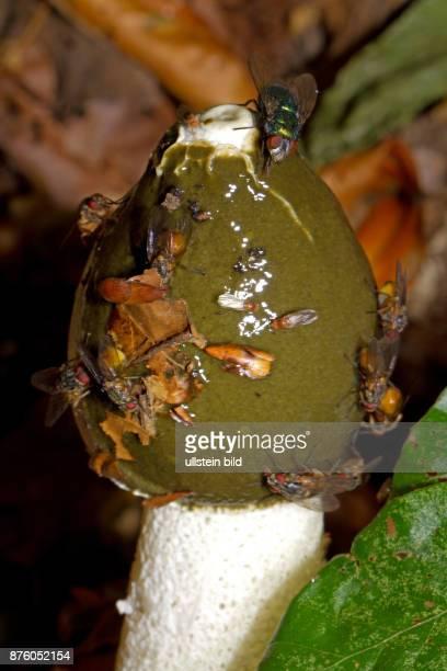Gemeine Stinkmorchel Fruchtkoerper mit weissem Stiel und olivgruenem Kopfteil mit sitzenden Fliegen